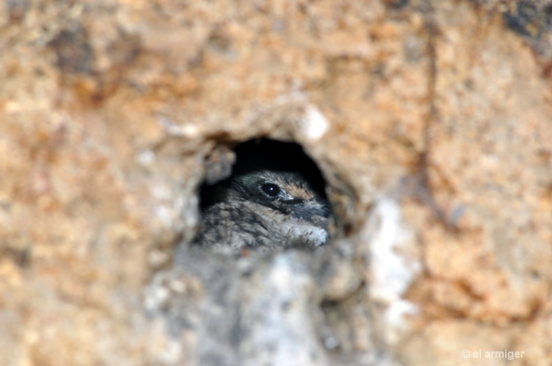 Kingfisher Chick in its Burrow.