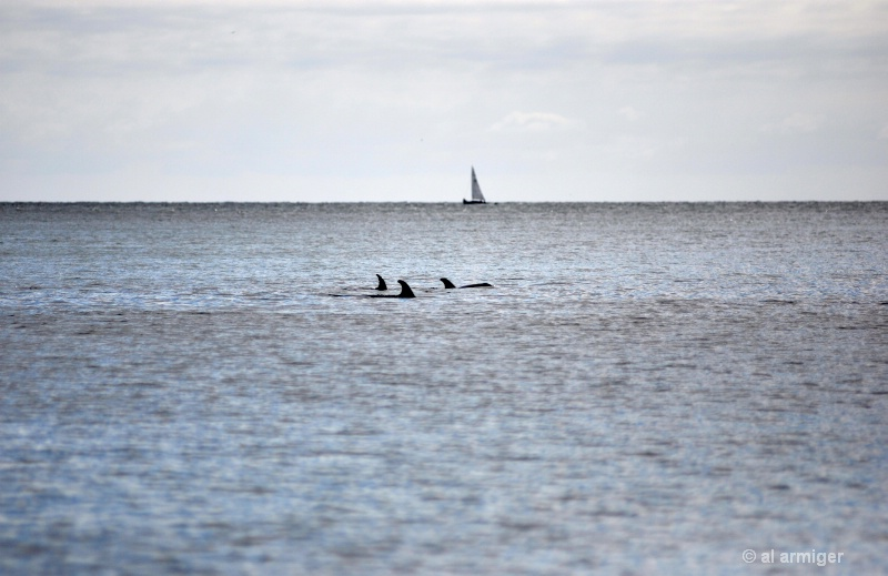 Dolphins dsc 0133