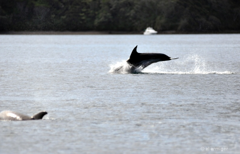 Dolphins dsc 0140
