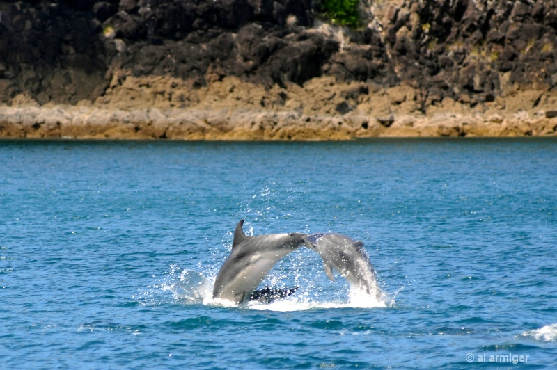 Dolphins at play dsc 0194