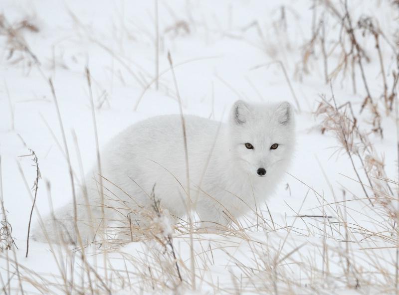 Artic Fox 1