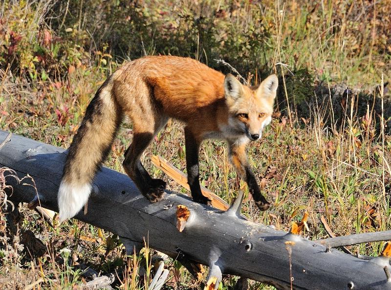 Red Fox 4