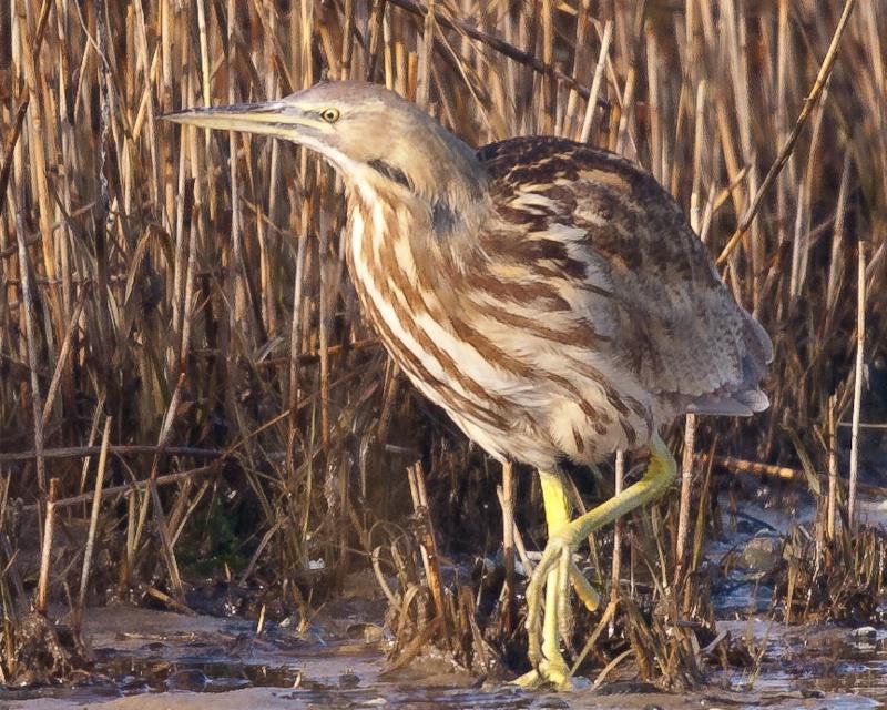 American Bittern, Shinnecock Bay, Jan 1st 2011 2nd