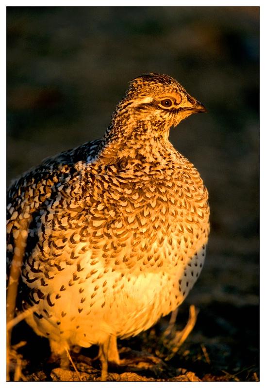 Sharptailed Grouse at lek, Saskatchewan Landing PP