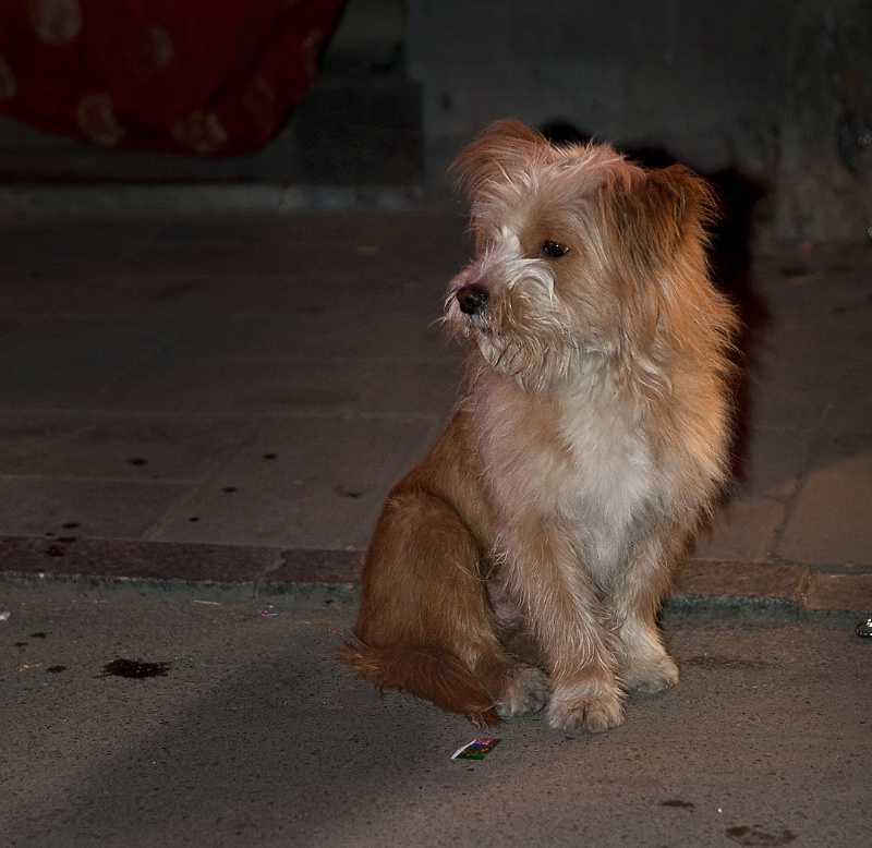 Street Dog in Beijing