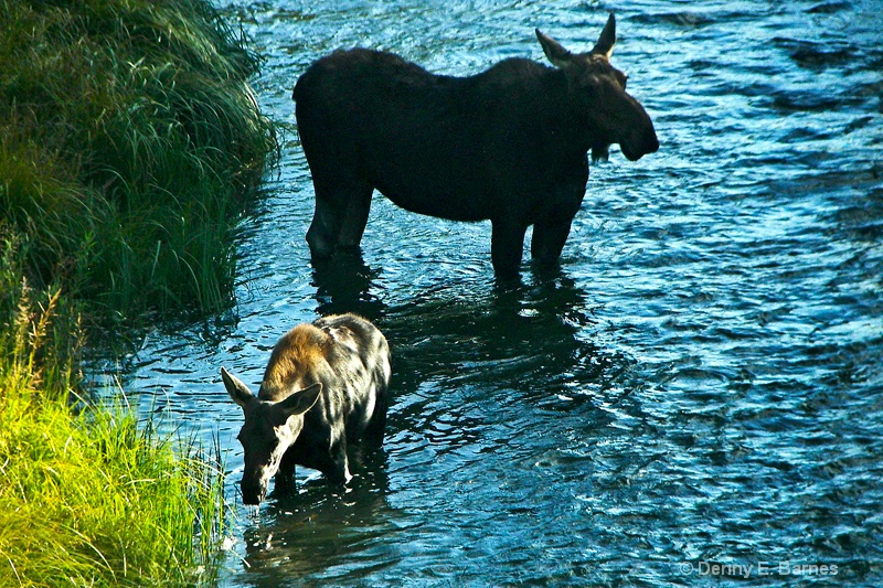 Moose Cow and Calf, WY