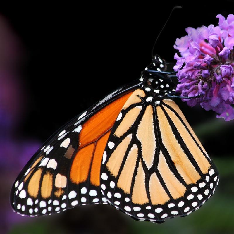 The Magnificent Monarch