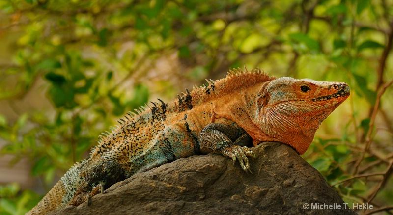 Golden Iguana