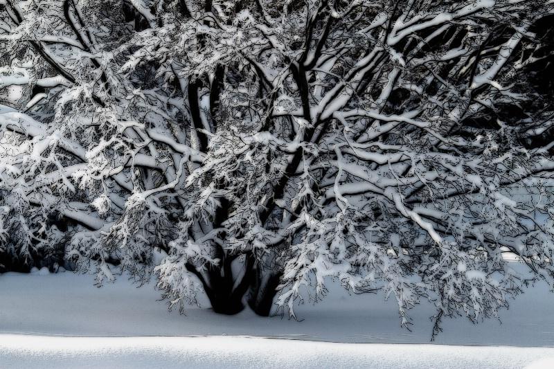 Snow Tree B&W