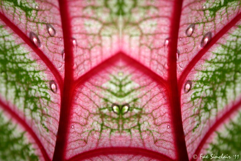 Caladium Window
