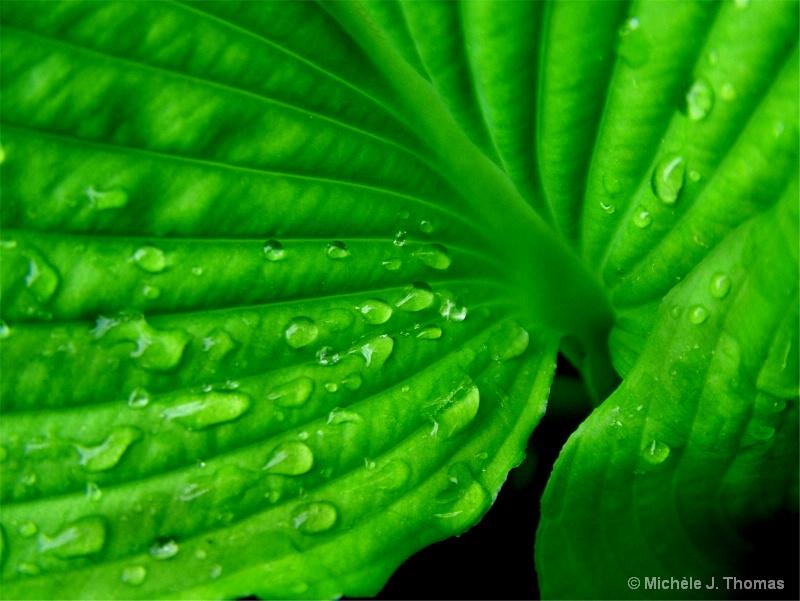 Raindrops on Hosta!