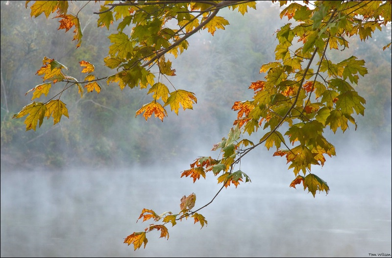 Maple Leaves and Fog