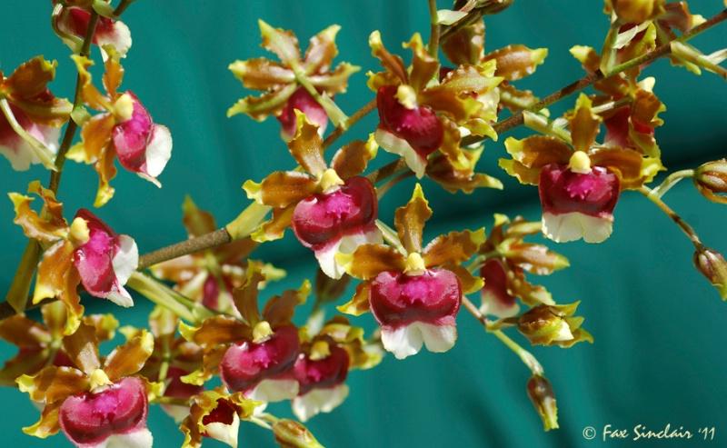 Orchid s Flow 3