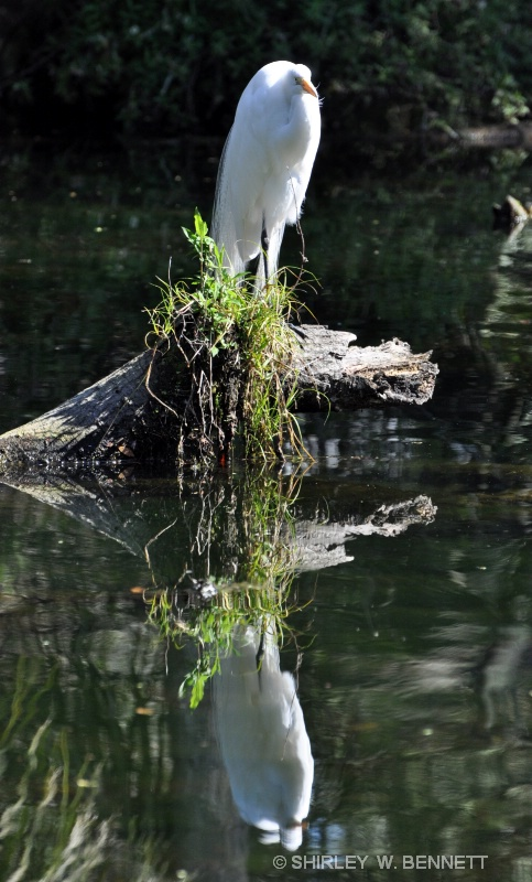 EGRET CASTS REFLECTION IN WATER