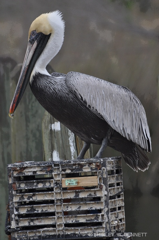 PELICAN ON CRATE