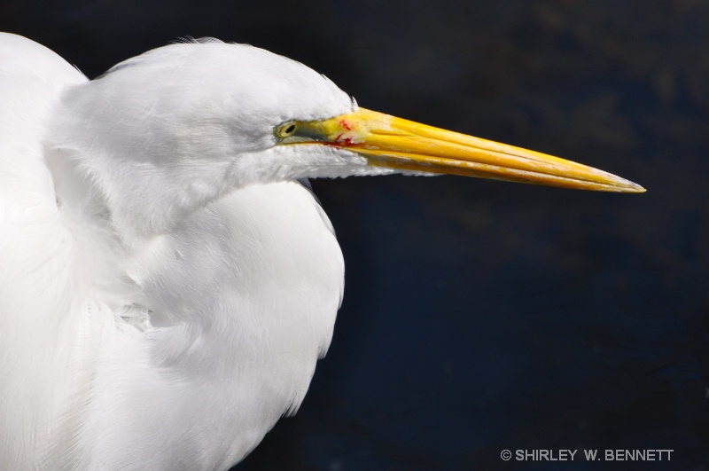 EGRET CLOSE UP
