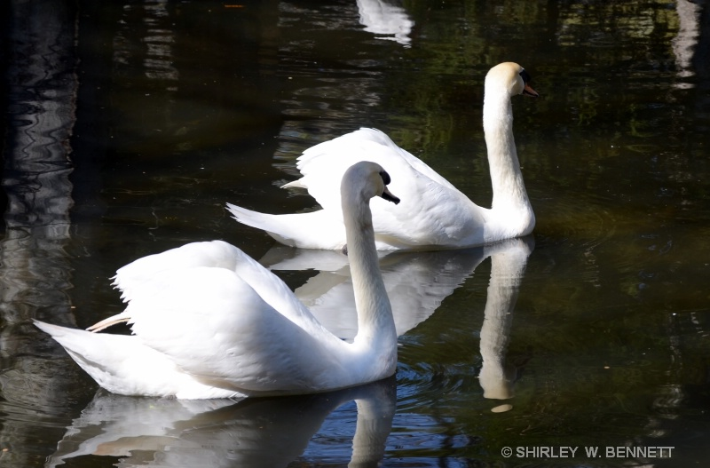 SWANS AT HOMOSASSA STATE PARK