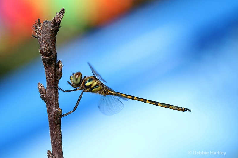 Coloured Dragonfly