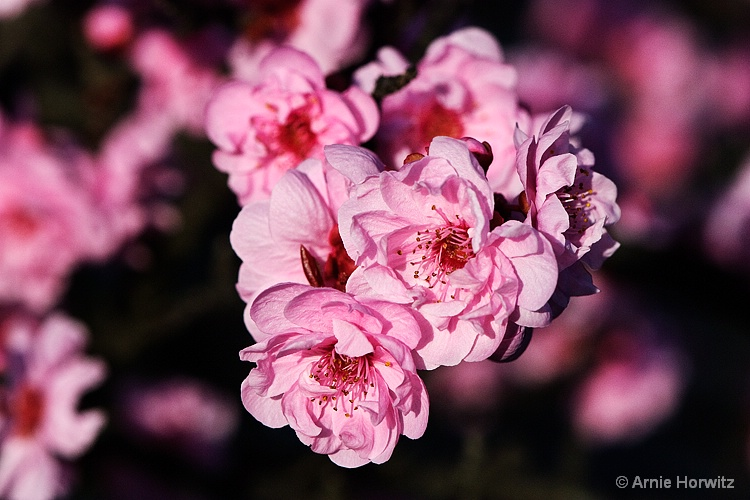Shades of Pink - II