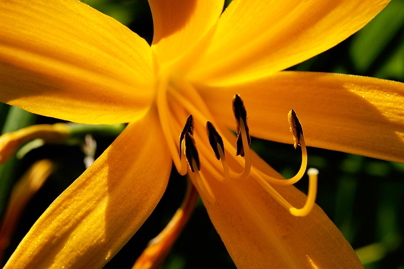 Day Lily Macro