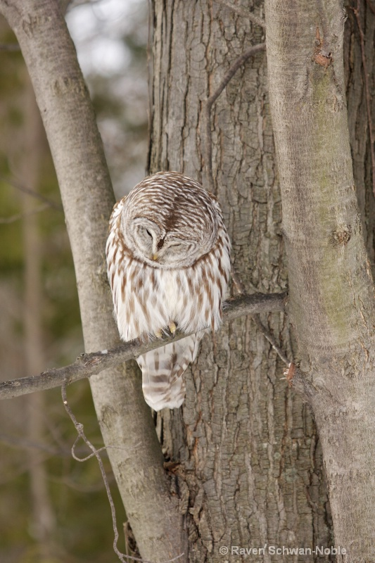 Zen Moment   Barred Owl