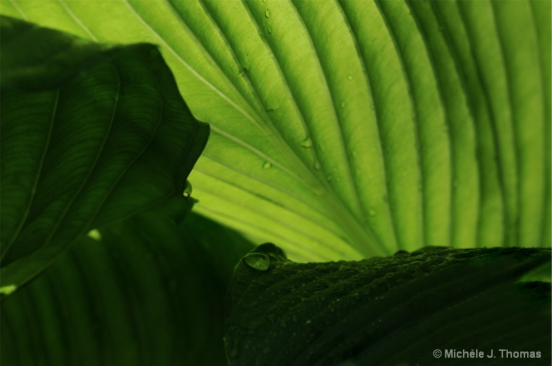 Hosta Shadows and Rain Drops !