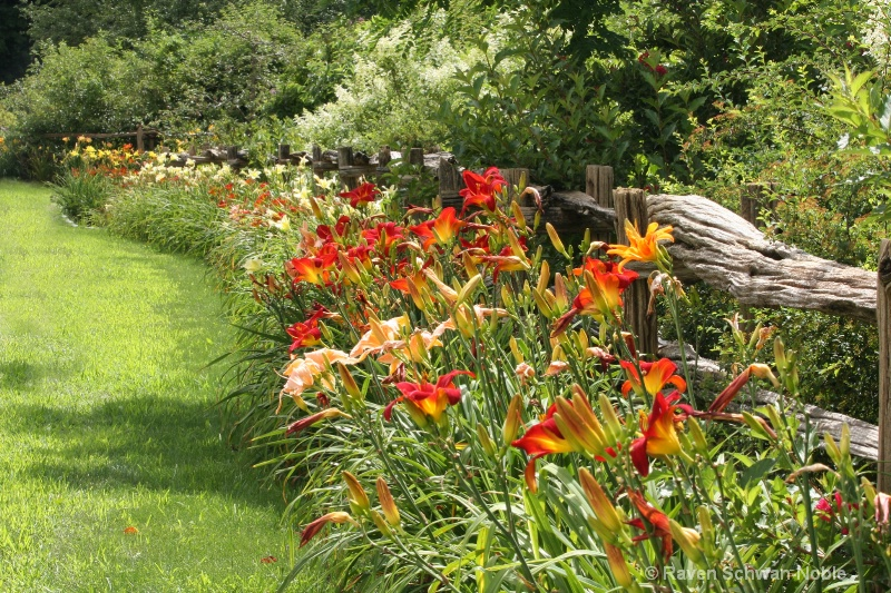 Rail fence of day lilies