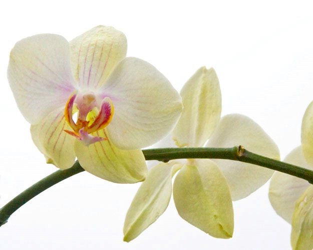 orchid 67