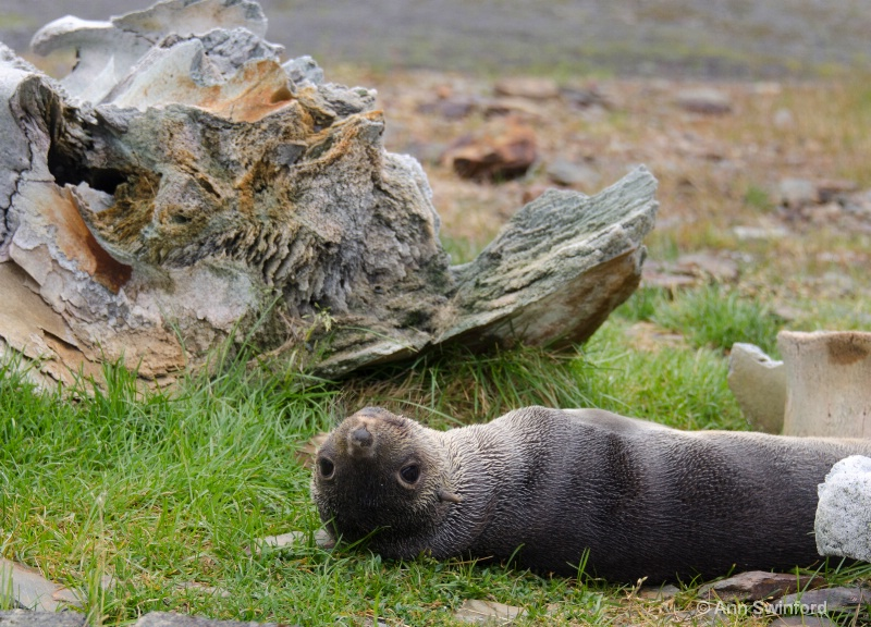 Endangered Species:  Fur seal and whale