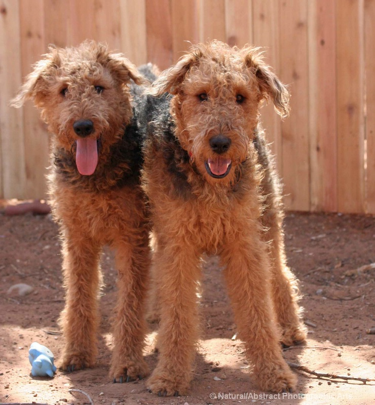 The Brothers Airedale