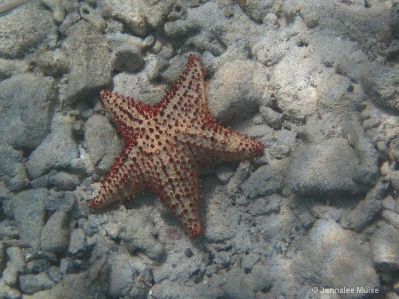 Waterlemon Star
