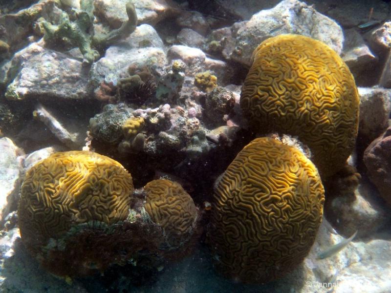Brain coral, St John