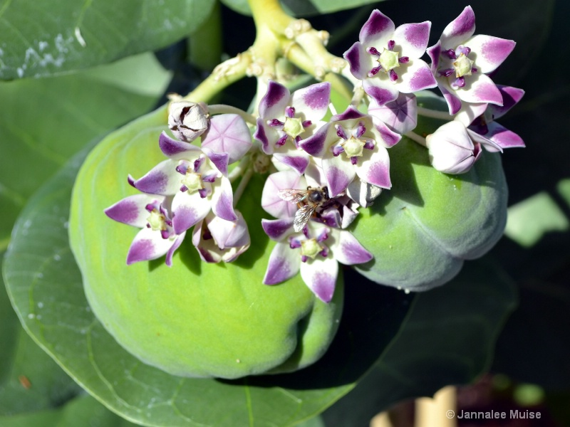 Pollinating bread fruit