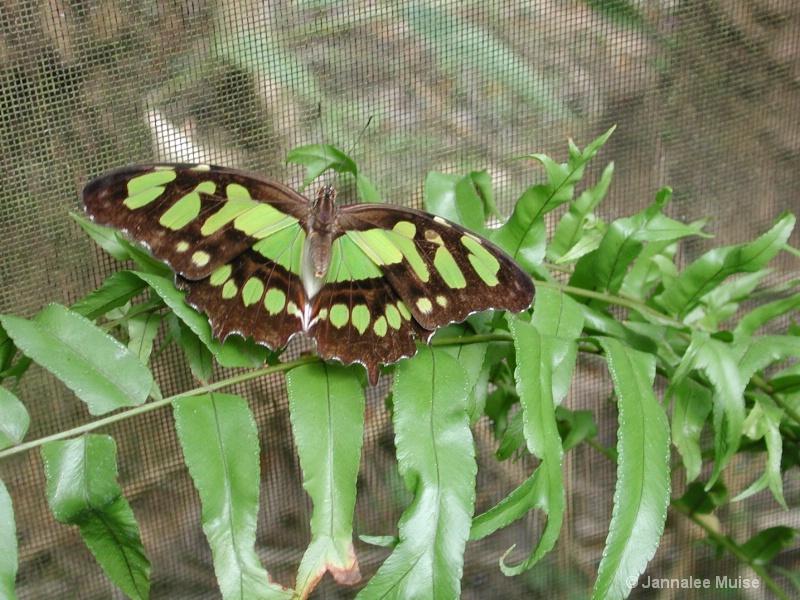 Butterfly in Belize
