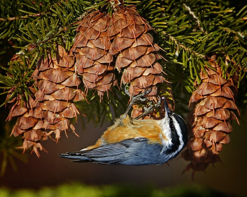 Cone Picker - Red Breasted Nuthatch