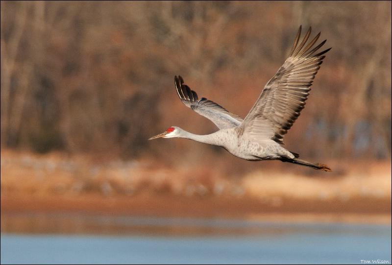 Sandhill Crane Flight over water