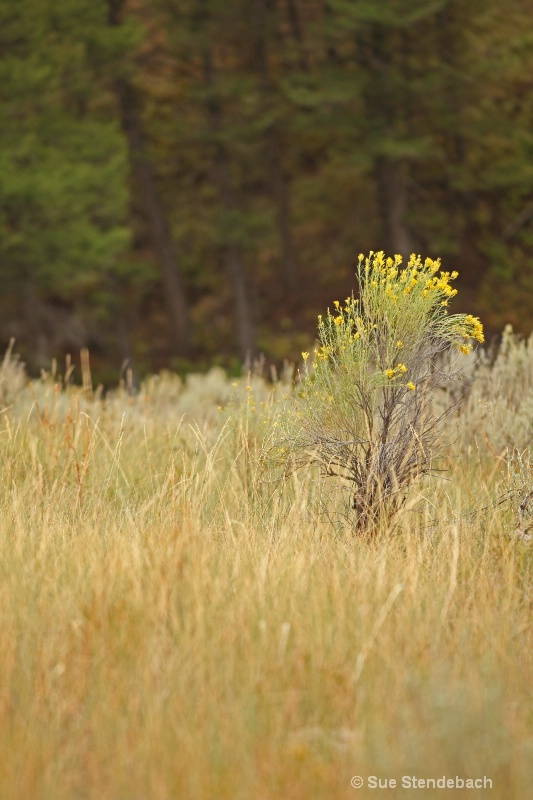 Yellows on Green, Yellowstone, WY