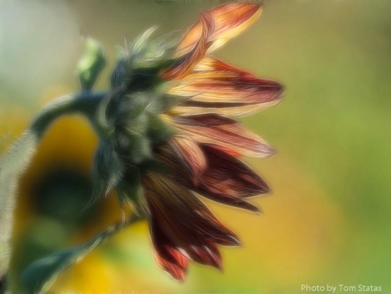 Sunflower Madness