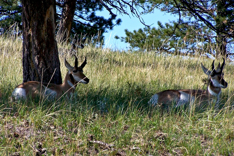 Pronghorn or American Antelope