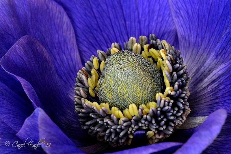 Anemone Heart