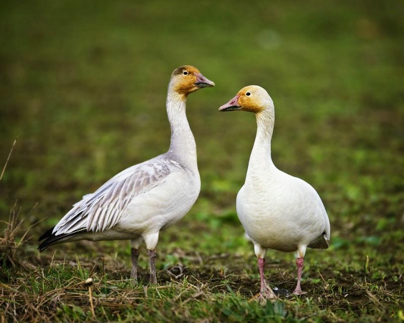 Snow Geese Pair