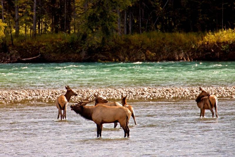 River Crossing - Rocky Mountain Elk