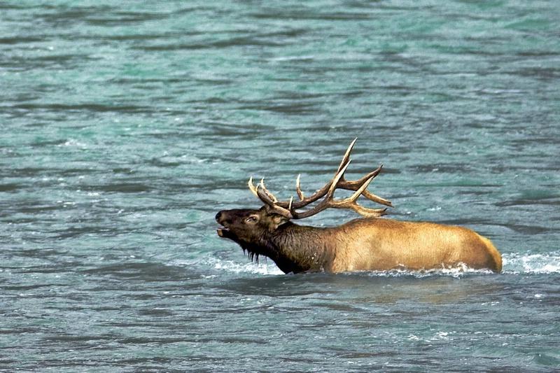 Going For a Swim - Bull Elk