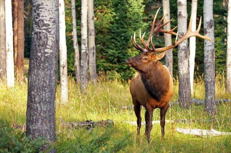 Herd Boss - Bull Elk
