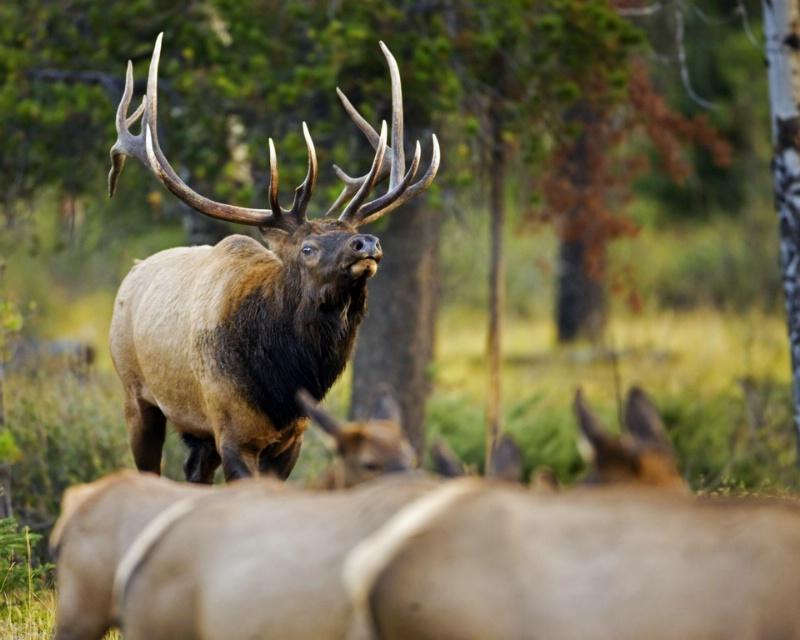 Herdmaster - Bull Elk