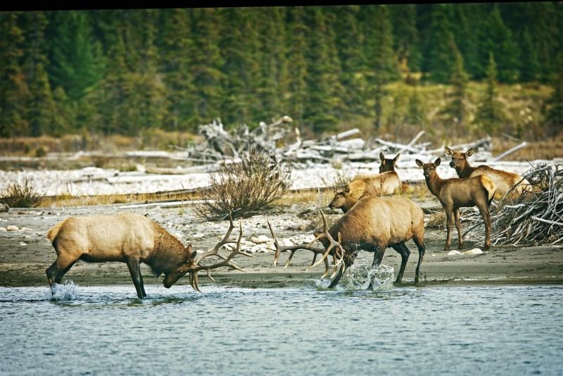 Bull Elk Challenge