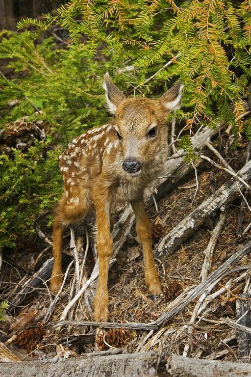 Blacktail Deer -  Fawn
