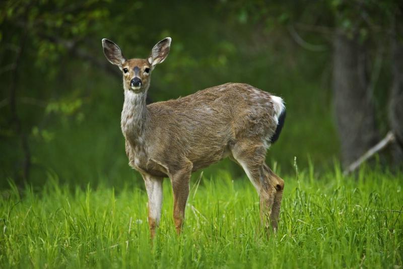 Blacktail Deer - Doe