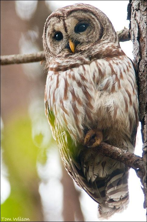 Barred Owl vert
