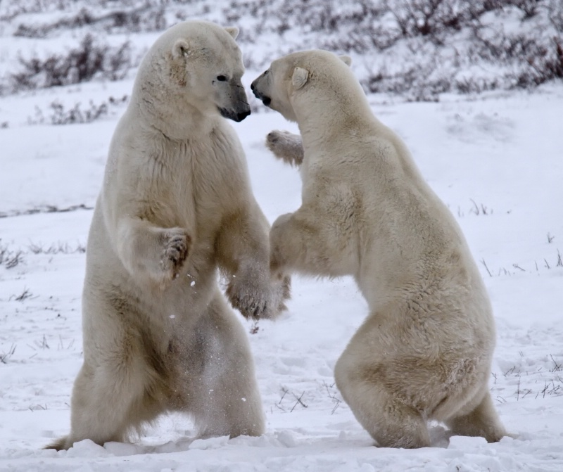 Hudson Bay Bears